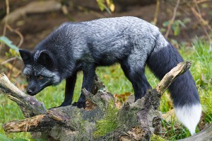Fuchs(1)
